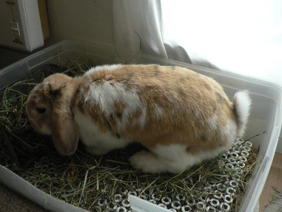 bac à litière lapin