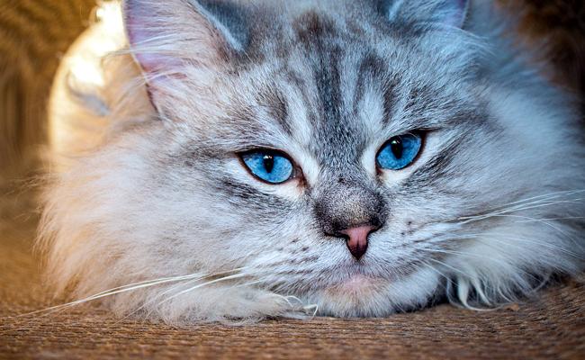 le chat sibérien